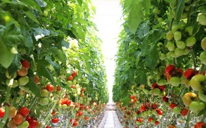 tomati siltumnica