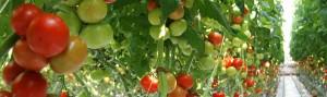 jaunumi-par-tomatiem
