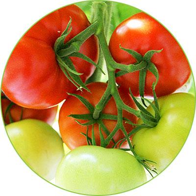 tomatini